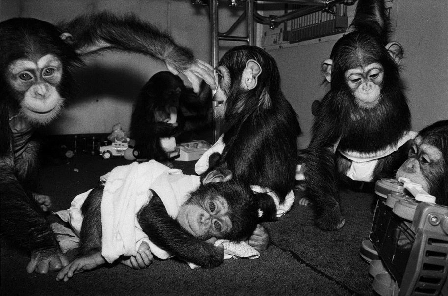 Robin Schwartz, Josh, Hermonie, Alexis, Rene and Ewok, 1988, Chimpanzees, all under 1 year old, Copyright Robin Schwartz