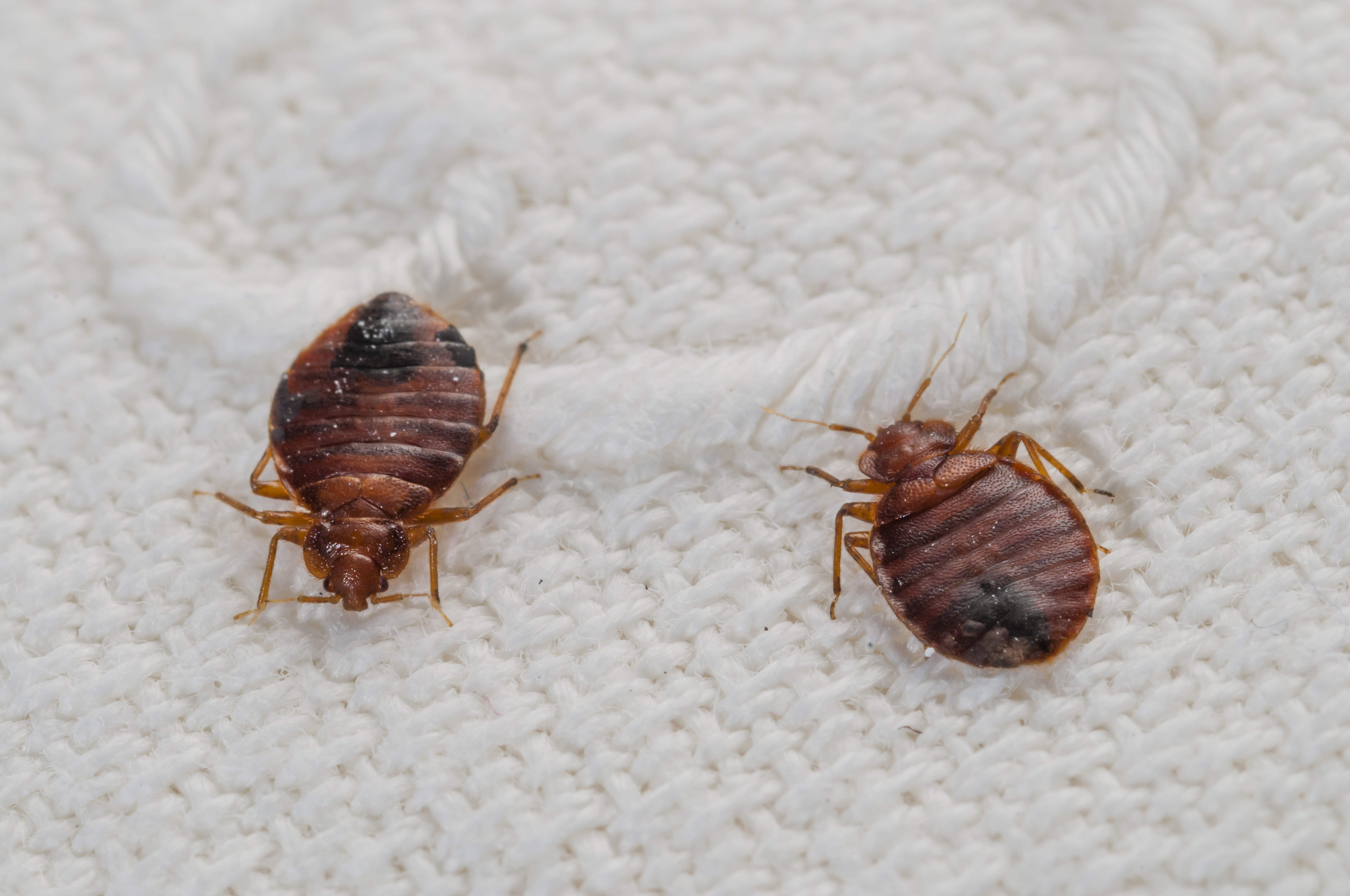bed bugs wiki wikipedia bug edit detection