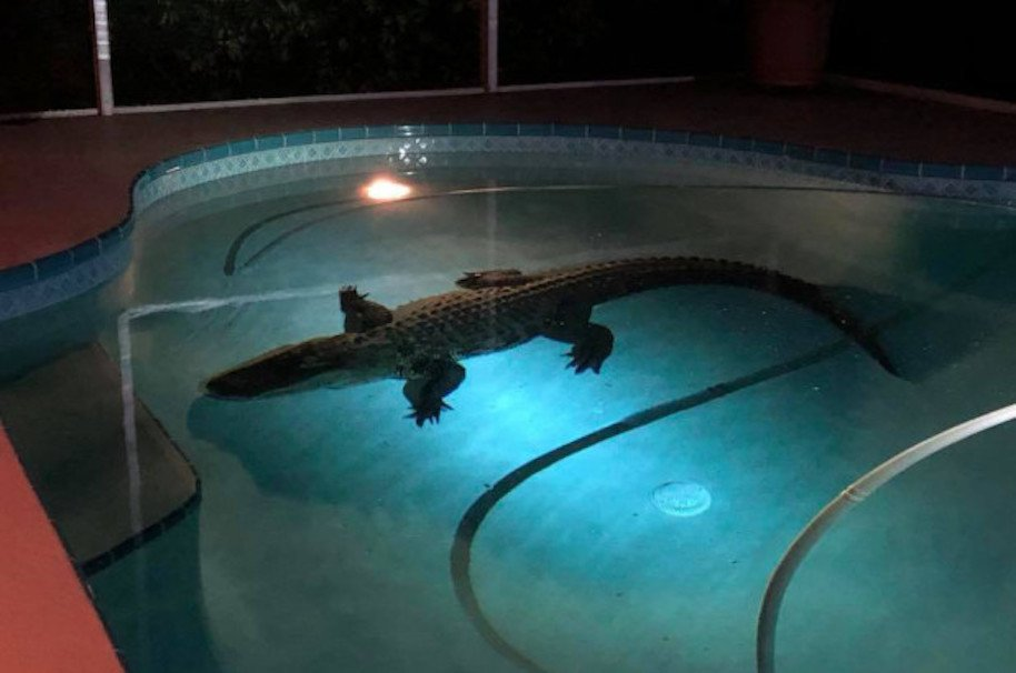 11-foot alligator pulled from family swimming pool in Florida