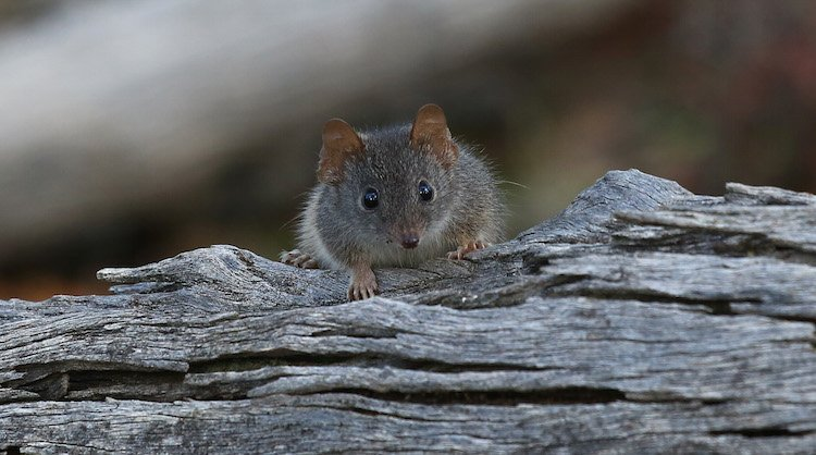 endangered species, antechinus argentus