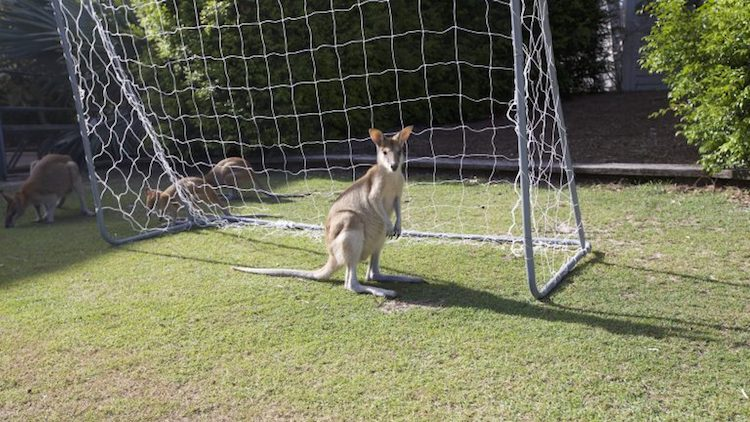 kangaroo on soccer pitch