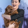 Premiere screening of EPIX's 'Katy Perry: The Prismatic World Tour' at The Theatre at Ace Hotel - Arrivals Featuring: Katy Perry, Butters Where: Los Angeles, California, United States When: 26 Mar 2015 Credit: Brian To/WENN.com