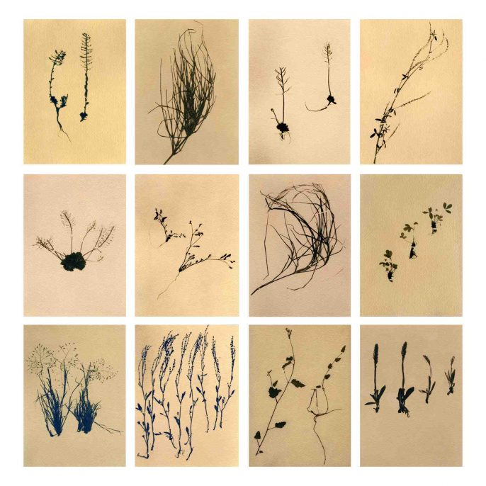 Grand Canyon National Park, Plant specimenrs, toned cyanotype, 2010