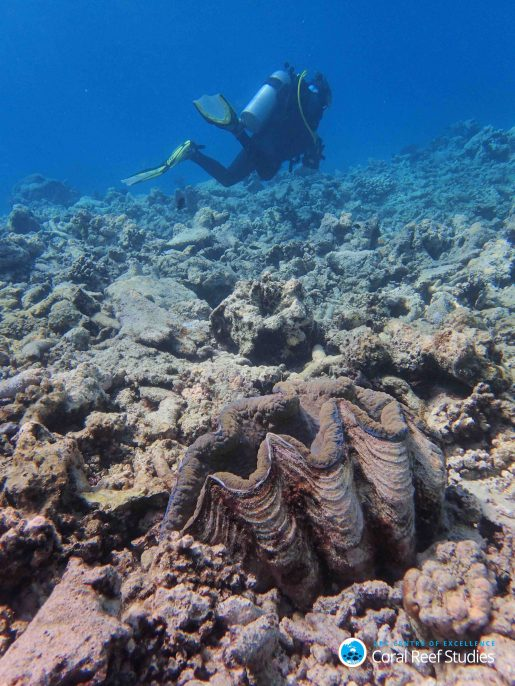 This giant clam used to sit in a colourful field of corals before March 2016 – now she is alone on the reef slope. No Name reef (Lizard Island region), October 2016. Photo by Greg Torda