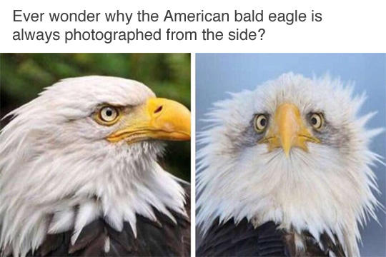 Funny animal memes bald eagle