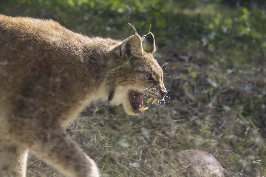 two bobcats fight utility pole
