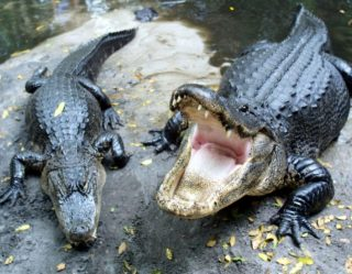 Hungry and Horny Alligators Are Overwhelming Florida With Their Appetites