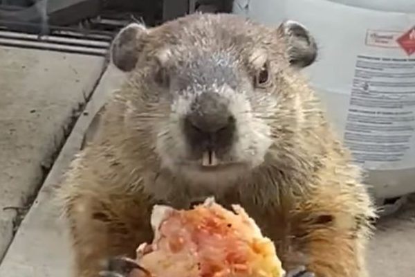 Woman Sees Groundhog Eat Pizza Outside Her Quarantine, Predicts Life Won't Return For Another 6 Weeks