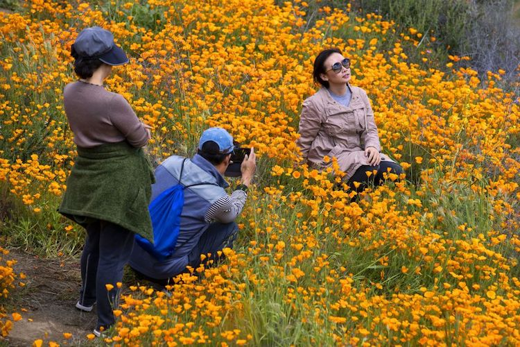 Poppy Flower Superbloom Feels Wrath of Instagram Models Spreading Eagle