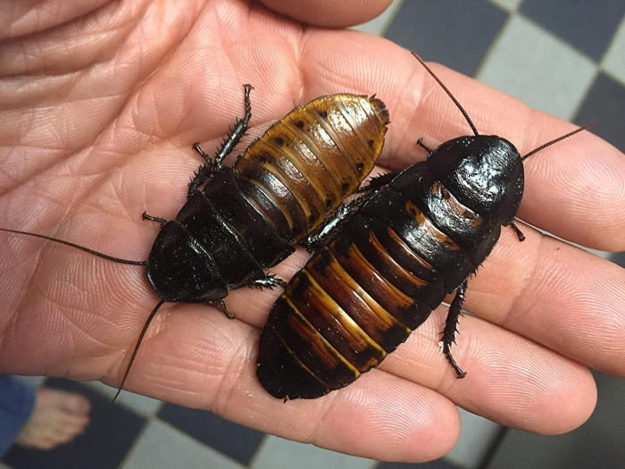 Sexed Pair of Madagascar Hissing Cockroaches - $9.99